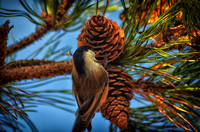 Black-capped Chicadee in the Pines