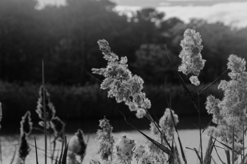 Black and White of Phragmites at The marsh